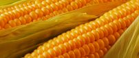 Delicious golden corn ready to eat - HD wallpaper