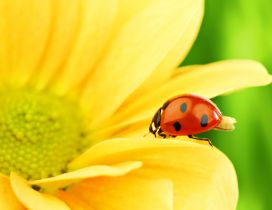 Wonderful ladybug on a yellow flower - Macro wallpaper