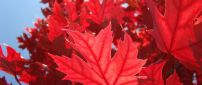 Red Autumn leaves - wonderful tree