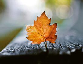 Amber macro leaf - wonderful Autumn season