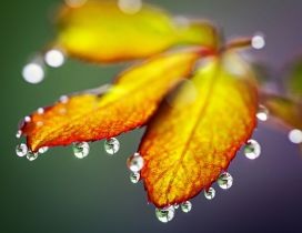 Macro water drops on the Autumn leaves - HD wallpaper