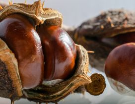 Chestnuts in their home - HD wallpaper