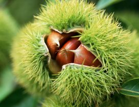 Wonderful of the nature - chestnuts in the shell