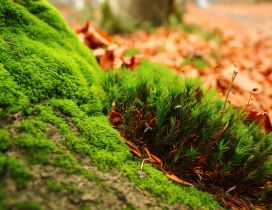 Wonderful green moss and Autumn leaves in the background