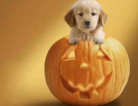 Sweet little puppy in a Halloween pumpkin - HD wallpaper
