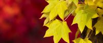 Yellow Autumn leaves on a red background