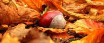 One wild chestnut in the Autumn carpet of leaves