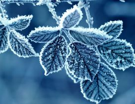 Wonderful frozen leaves - Cold winter season