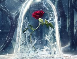 Wonderful red rose protected from the cold winter season