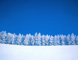 White forest and a wonderful blue sky