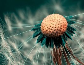 Wonderful macro dandelion puff - HD wallpaper