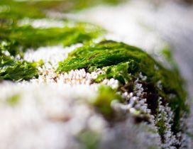 Wonderful green grass in the snow - Macro HD wallpaper