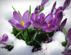 Purple spring flowers in the snow - HD wallpaper