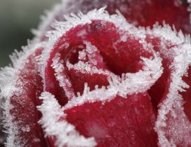 Macro water particles on a red rose - Frozen flower