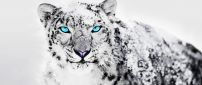 Wonderful blue eyes for a Siberian tiger - White snow