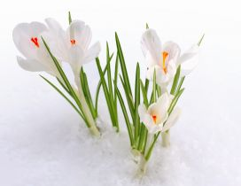 White flowers in the snow- HD spring wallpaper