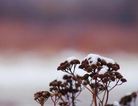 Wonderful macro wallpaper - Snow on the flowers