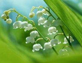 Spring perfume of wonderful white flowers - Lily