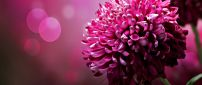 Wonderful dahlias pink flowers - HD spring wallpaper