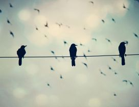 Black crows on a phone wire - Funny wallpaper