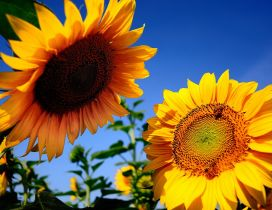 Two sunflowers talking in the sun - Summer season