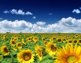 Golden Sunflower field in a summer hot day