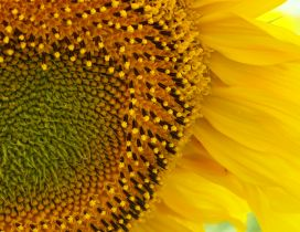 Wonderful yellow flower - Macro Sunflower