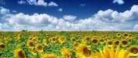 Golden Sunflower field in a summer hot day