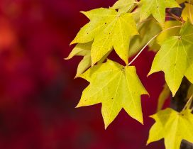 Yellow Autumn leaves in the tree- HD wallpaper