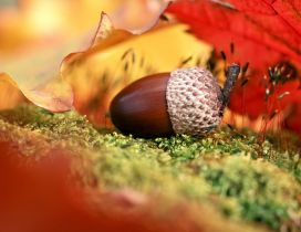 Macro acorn - Autumn fruit
