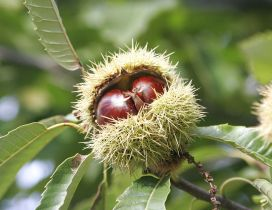 Two chestnuts in one house - Twins Autumn fruits