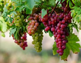 White and rose grape vine -Delicious fruits of Autumn season