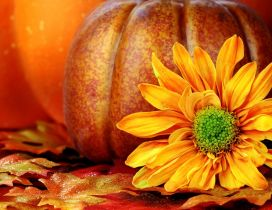 Orange Autumn flower and a pumpkin in the background
