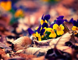 Yellow and purple pansies on the Autumn carpet of leaves