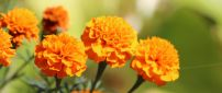 Wonderful orange flowers in the sunlight - HD wallpaper