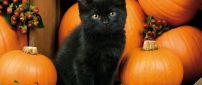 Dark cat and orange pumpkins - HD Halloween night