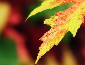 Macro water drops on a yellow Autumn leaf - HD wallpaper