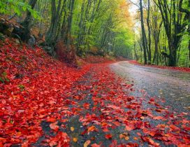 Red leaves on the road - Nature is beautiful
