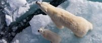 Mama and baby polar bears sit on a piece of ice
