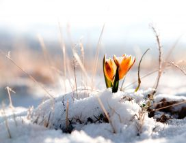 Yellow spring flower in the snow - HD wallpaper