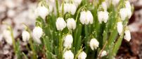 Big water drops on wonderful flowers - Snowdrops