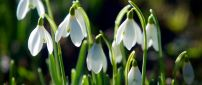 Sunny spring day - Wonderful snowdrops in the nature