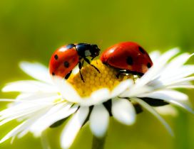 Two ladybugs on a flowers - Beautiful macro wallpaper