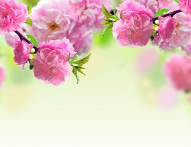 Tree blossoming - Beautiful pink spring flowers