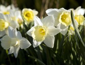 Beautiful white and yellow daffodils flowers in the garden