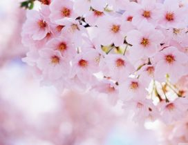 Pink cherry flowers in this beautiful spring season