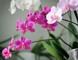 White and pink orchid flowers in the house