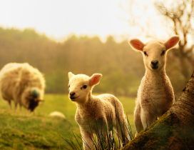 Sweet young lambs play near mother - HD animal wallpaper