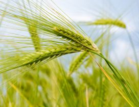 Macro nature - Green ear of wheat