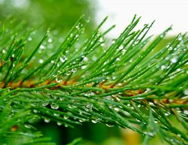 Fresh water drops on a pine branch - Macro wallpaper